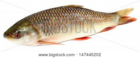 Popular Rohu or Rohit fish of Indian subcontinent over white background