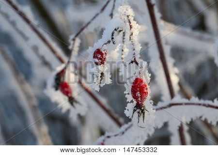 Rosehip Berries In The Frost
