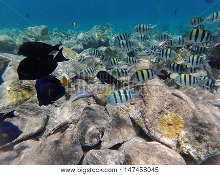 Underwater landscape on a shallow coral reef with  reef tfish, Acanthur and calm water surface in the Red sea