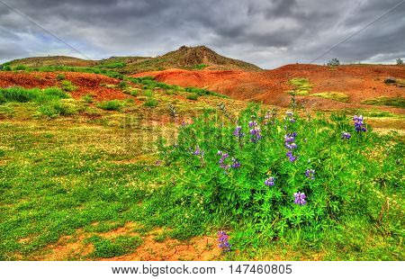 Lupin flower in geothermally active Haukadalur Valley in Southwest Iceland