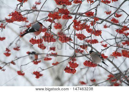 Bullfinches On Tree