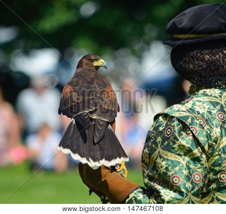 Harris Hawk on gloved Hand out of focus background