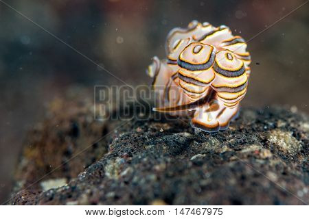 Colorful Donut Nudibranch Close Up Macro Detail