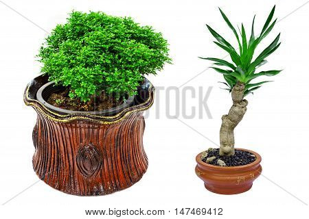 houseplant in clay pot isolated on white background