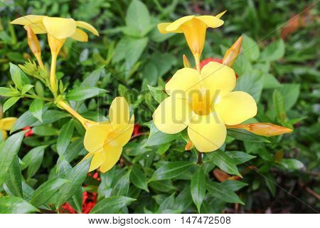 Golden Trumpet Allamanda cathartica willow-leaved climber blooming in the garden. Yellow flower