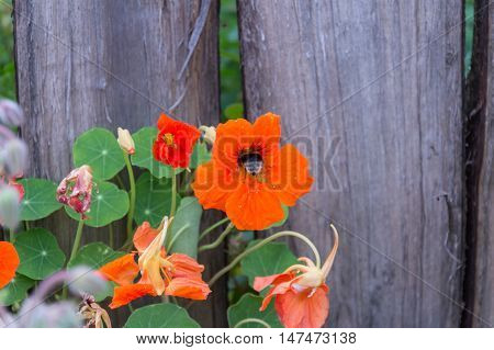 Bumblebee collecting nectar from an orange nasturtium flower