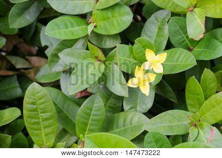 Yellow Flower spike Rubiaceae in a garden
