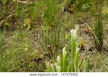 Sarracenia Carnivorous meat eating plant in Florida