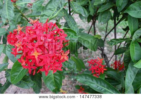 Red flower spike Rubiaceae flower Ixora coccinea It is a flowering shrub native to Southern India and Sri Lanka in nature.