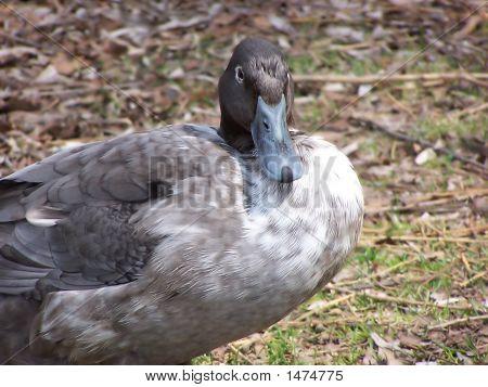 Herr Duck