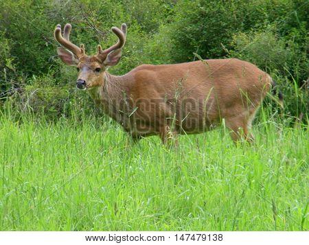 A beautiful velvet antlered deer in Fort Worden State Park in Washington.