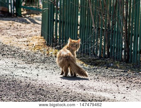 Curious red cat turns around to see who takes it