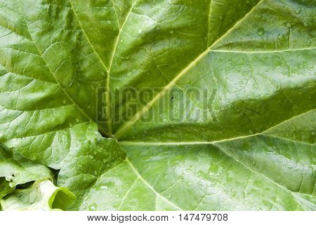 Close up on a the leaf of a rhubarb plant