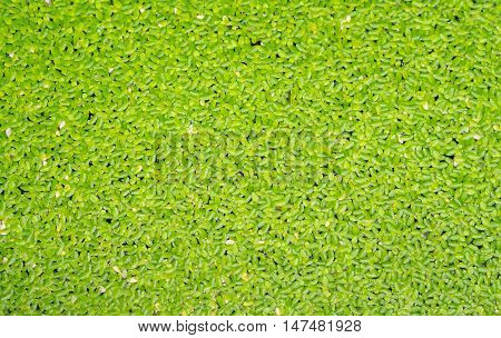 Green duckweed cover the water, use for background, close-up view.