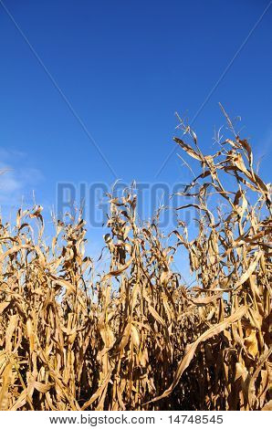 Corn field during sunny day with bright blue sky