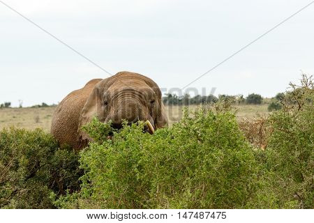 Hiding Behind The Trees - African Bush Elephant