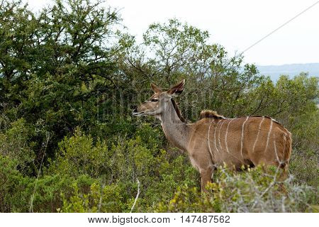 Staring Into The Future - Greater Kudu - Tragelaphus Strepsiceros