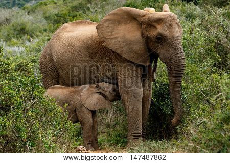 Drinking Time - African Bush Elephant