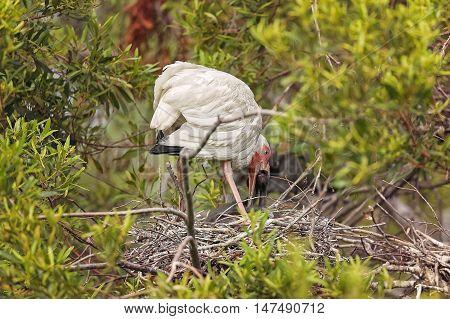 White Ibis In Hilton Head Island