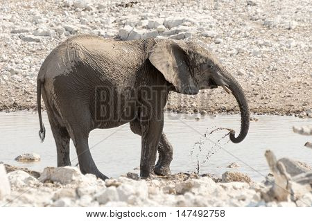 Calf Of African Elephant At A Waterhole