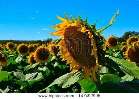 Sunflower Standing Tall in a Kansas Field