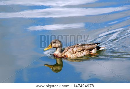 Female Mallard duck glides across a reflected blue sky on the Yahara River in Wisconsin.