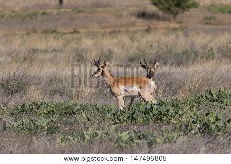 a pair of pronghorn antelope bucks on the prairie