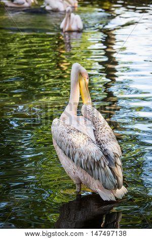 White pelican on green lake. Wild bird.