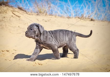 Beautiful young puppy italian mastiff cane corso (1 month) moves on the sand. Side view