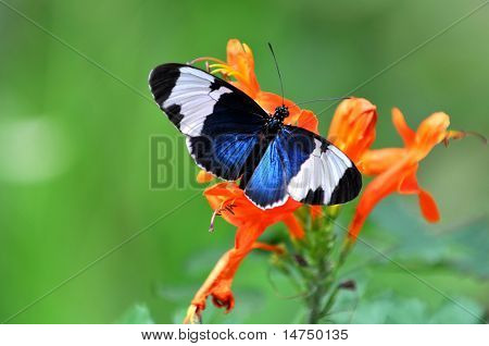 Heliconius cydno butterfly perched on bright orange flowers over a green background