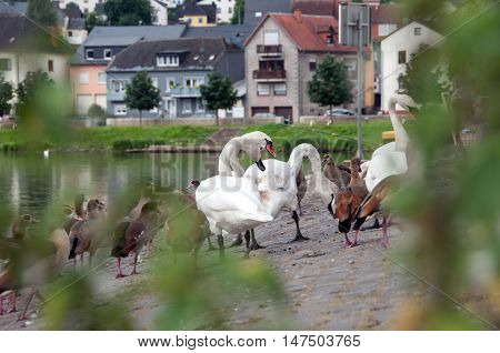 Swans and ducks standing near the river in Luxembourg city Wasserbillig.