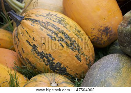 Harvest Pumpkins Stacked In A Large Pile.