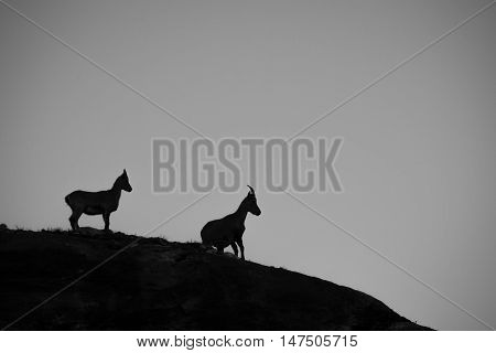 Two Ibex sat on a rock high in the Swiss alps silhouetted by the setting sun.