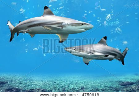 Blacktip Reef sharks swimming in tropical waters over coral reef