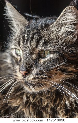 Head shot of cat - Maine coon male on dark background.
