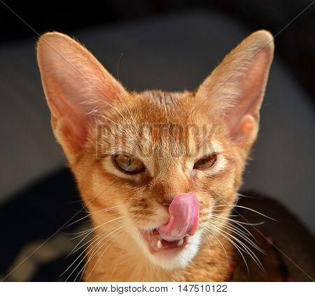 Head of domestic cat licking it's nose.