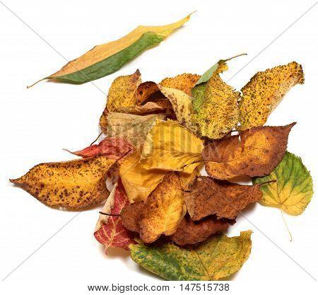 Multicolor Autumn Leafs