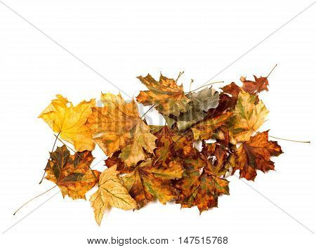 Autumn Dry Multicolor Maple Leafs