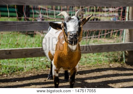 Tricolor Goat In Farm.