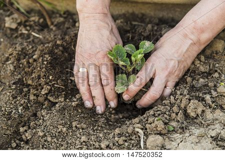 Farmer planting young strawberry in spring in garden