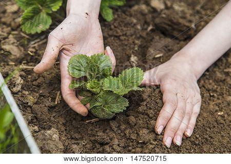 Gardener hands planting strawberry in ground in garden