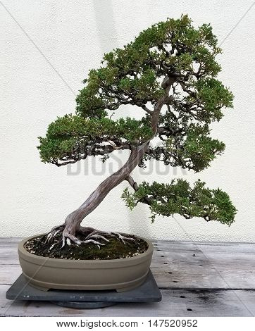 Bonsai and Penjing landscape with miniature juniper tree in a tray