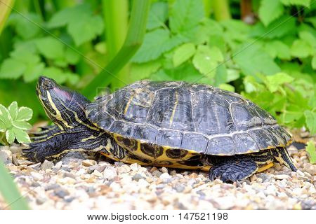 Turtle basking on the stones. Photo turtle on a blurred background