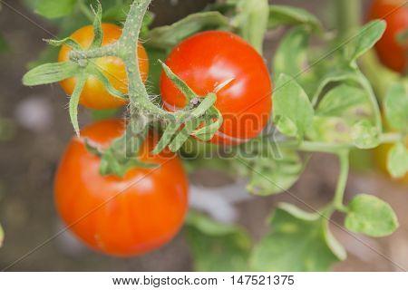 Tomatoes ripening on the bush, closeup look