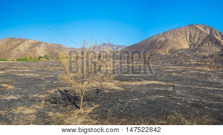 Tree In Burned Savanna