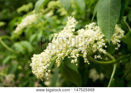Elderberry White Bush in the park in Spring