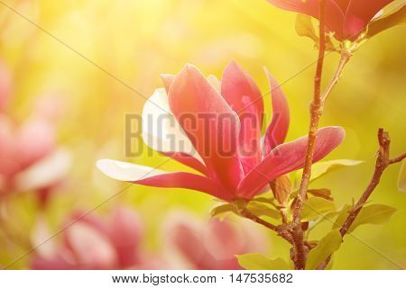 Blossoming of magnolia liliflora Nigra flowers in spring time, sunny floral background