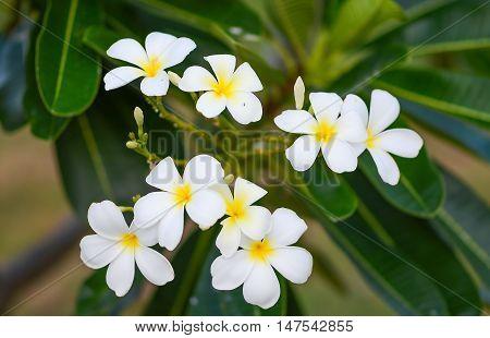 White plumeria on the plumeria tree Frangipani tropical flowers