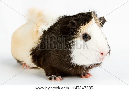 Guinea pig little pet rodent. guinea pig isolated on white background