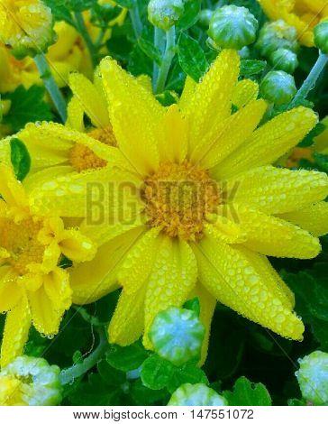 Dew covered dark yellow autumn Mum flowers